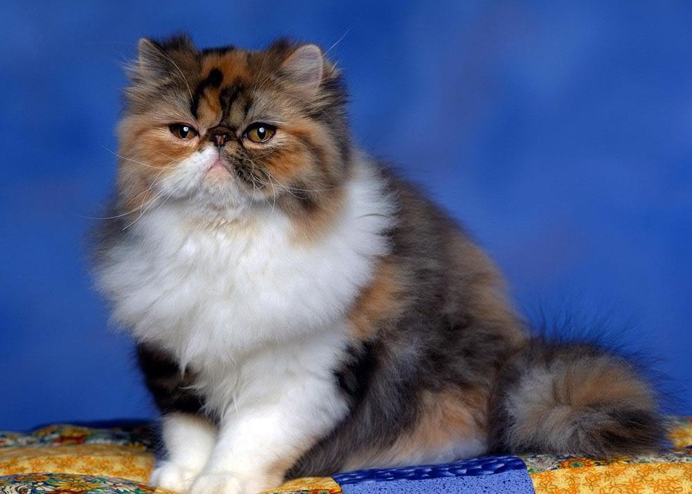 Ảnh mèo Ba Tư tam thể