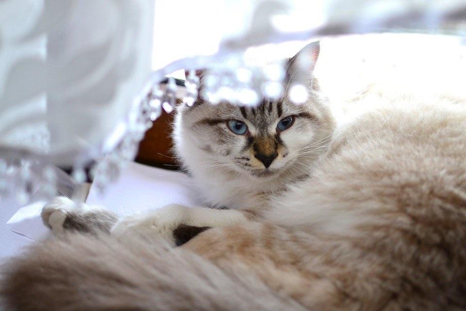 Ảnh mèo Ba Tư thuần chủng