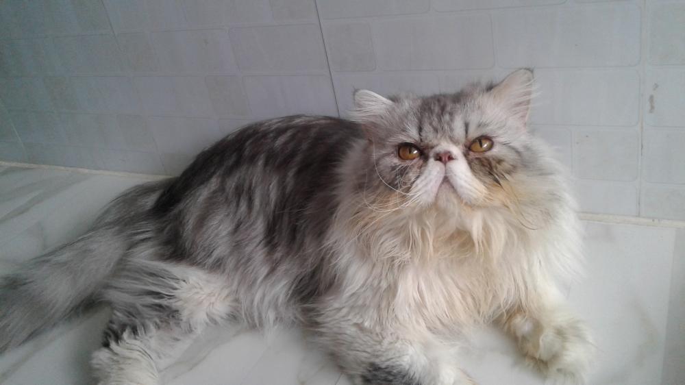 Ảnh mèo Ba Tư trưởng thành