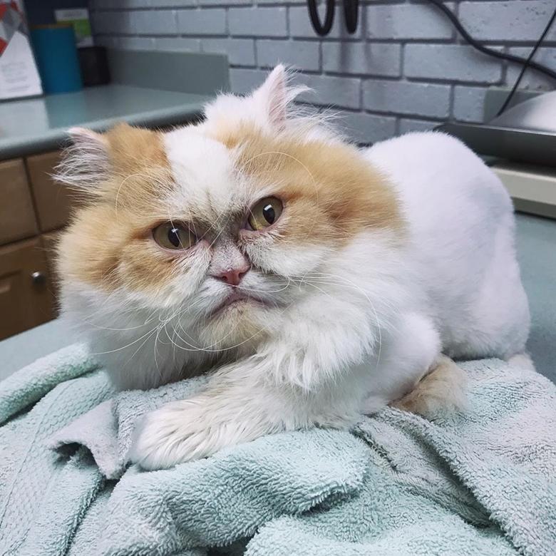 Ảnh mèo Ba Tư với gương mặt hờn dỗi nhất năm