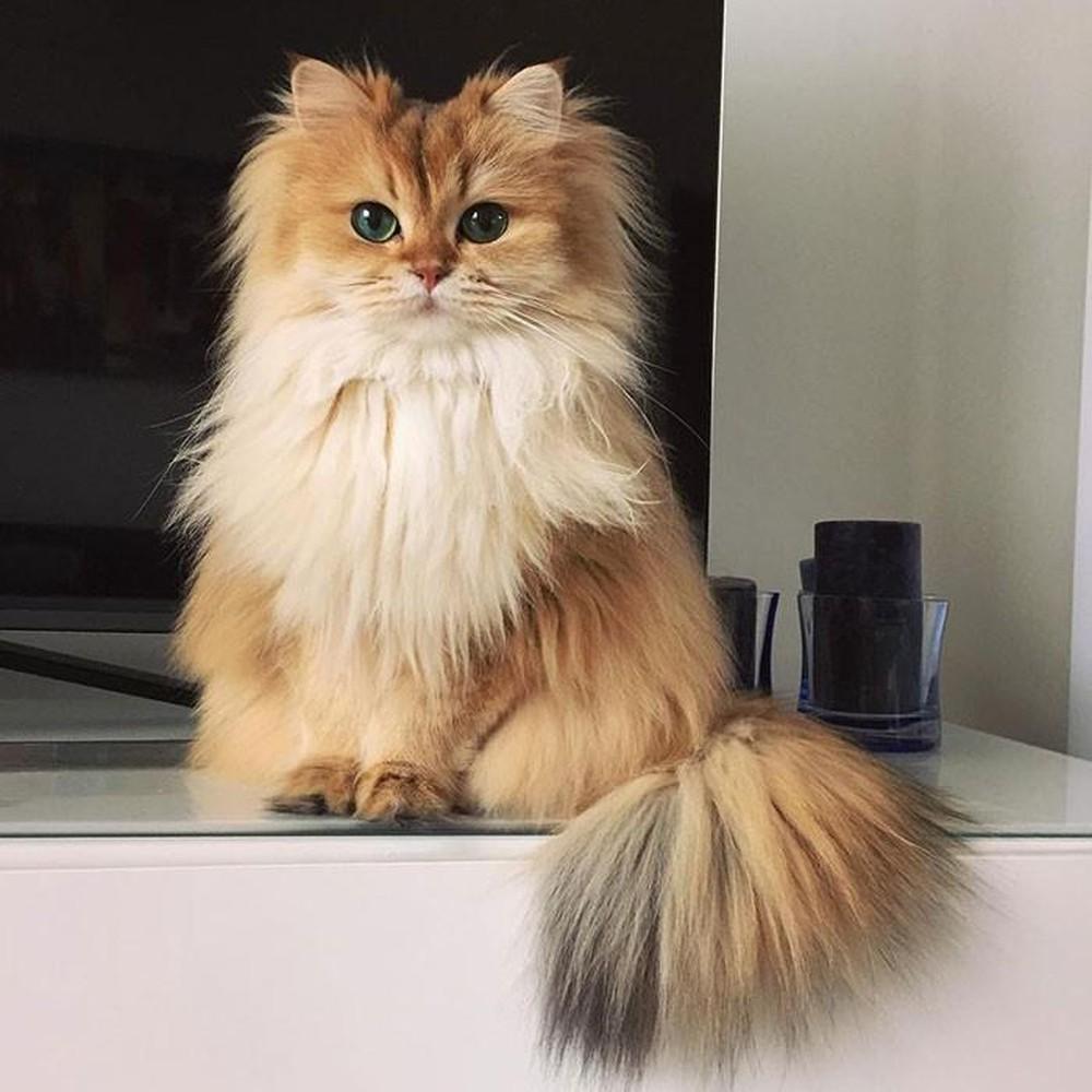 Ảnh nàng mèo anh lông dài có vẻ đẹp hút hồn