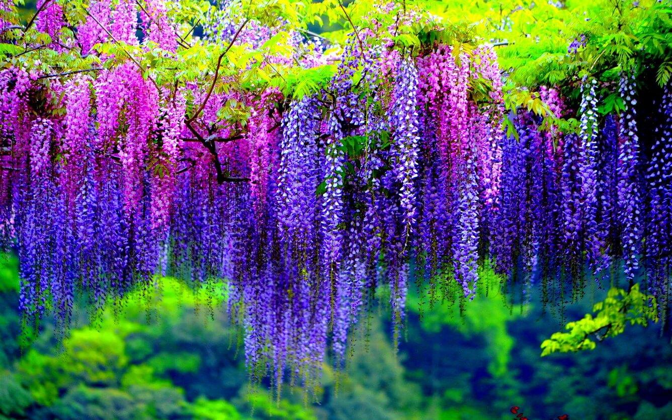 Ảnh sắc hoa Tử Đằng