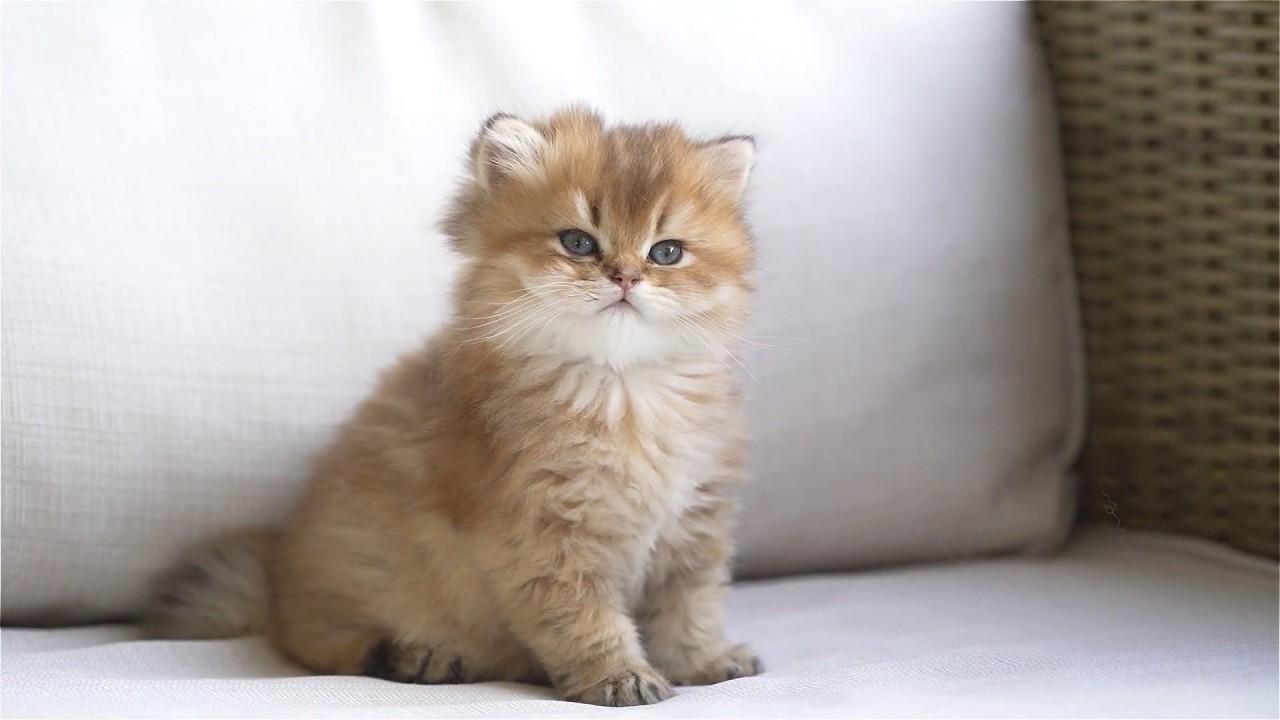 British Longhair baby cat