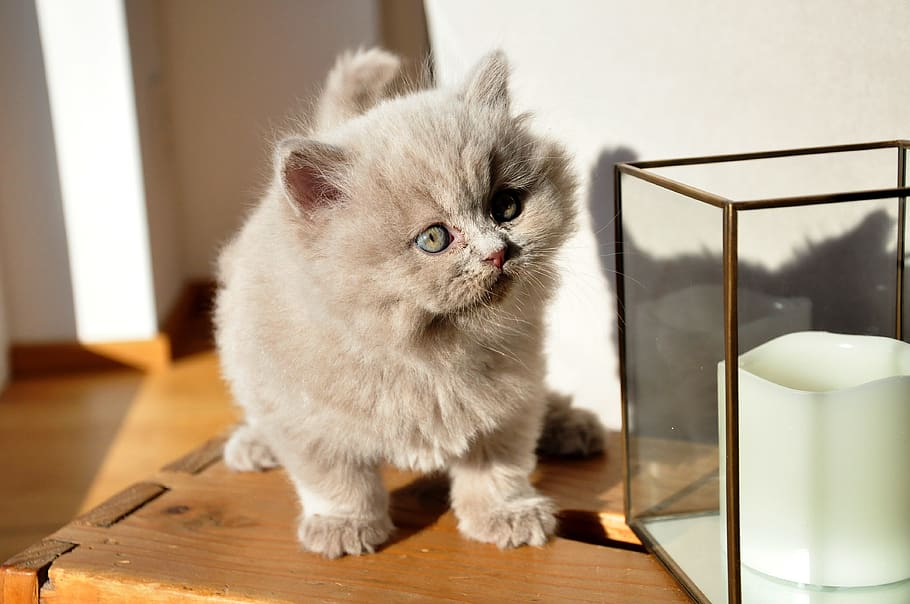 British longhair cat baby