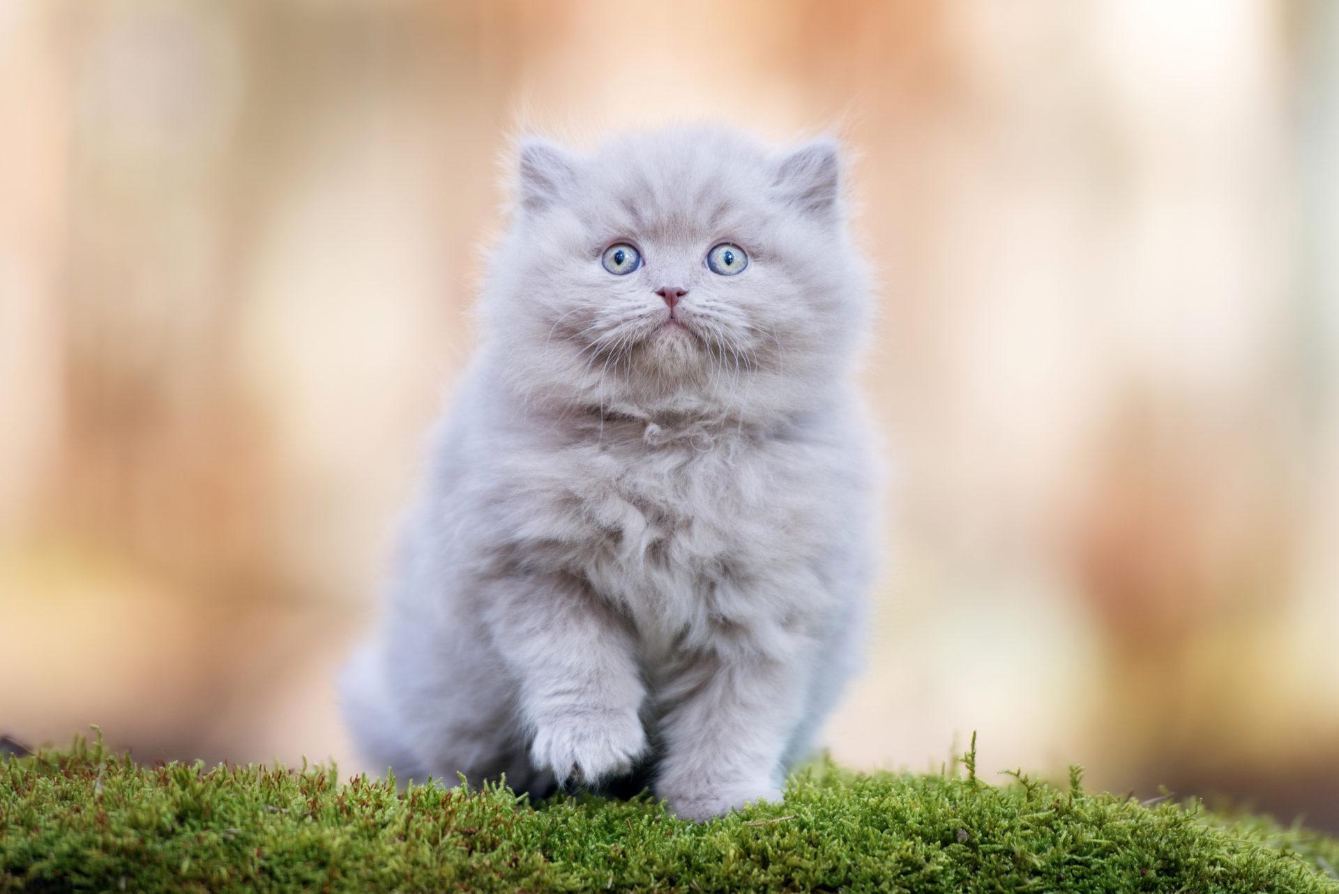 Chăm sóc mèo anh lông dài như thế nào