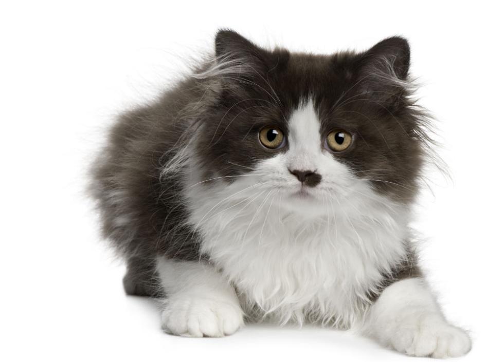 Giá bán mèo anh lông dài