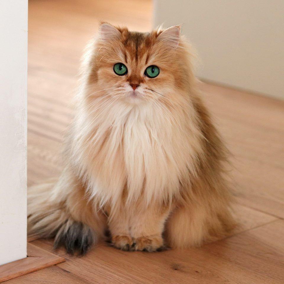 Golden Brutish Longhair Cat