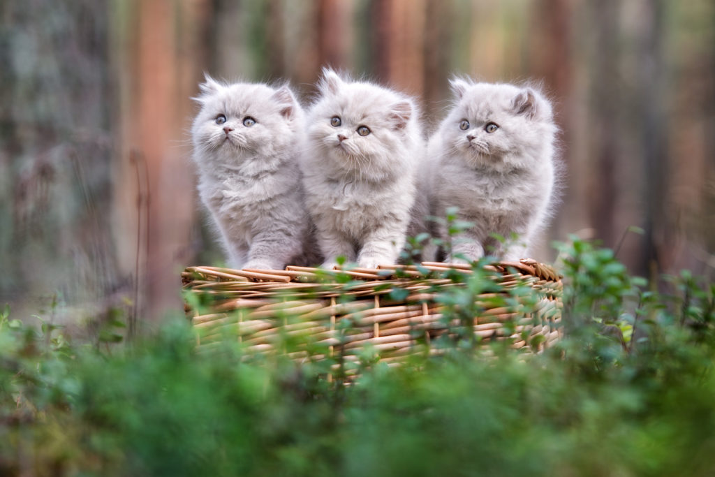Hình ảnh đàn mèo con lông dài cực đẹp