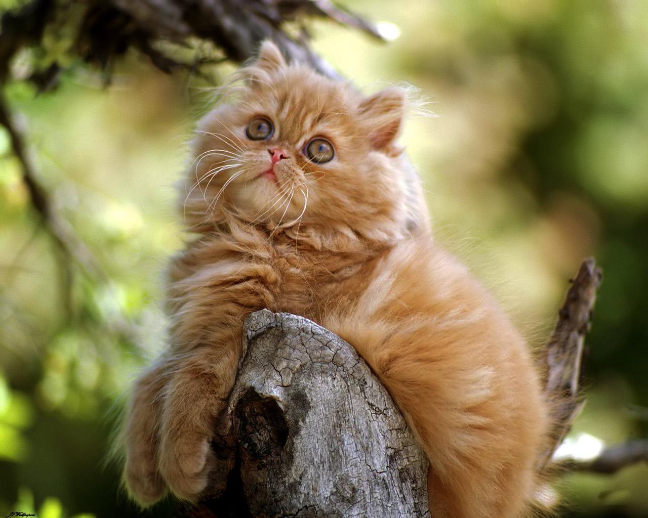 Hình ảnh đẹp về mèo Ba Tư