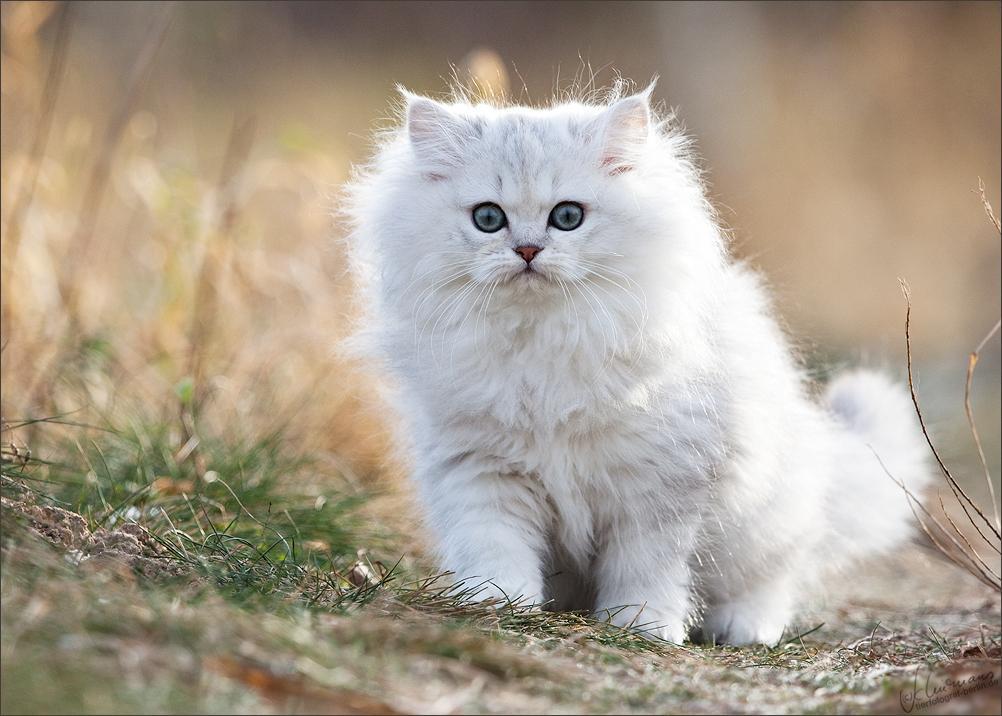 Hình ảnh mèo ald trắng đẹp nhất