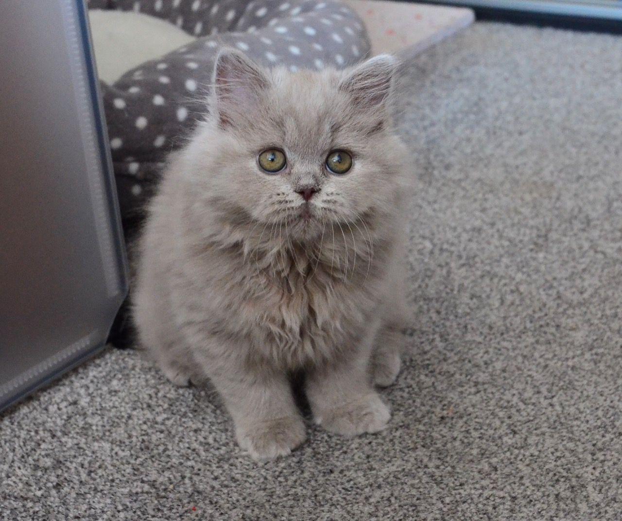 Hình ảnh mèo anh lông dài dễ thương nhất
