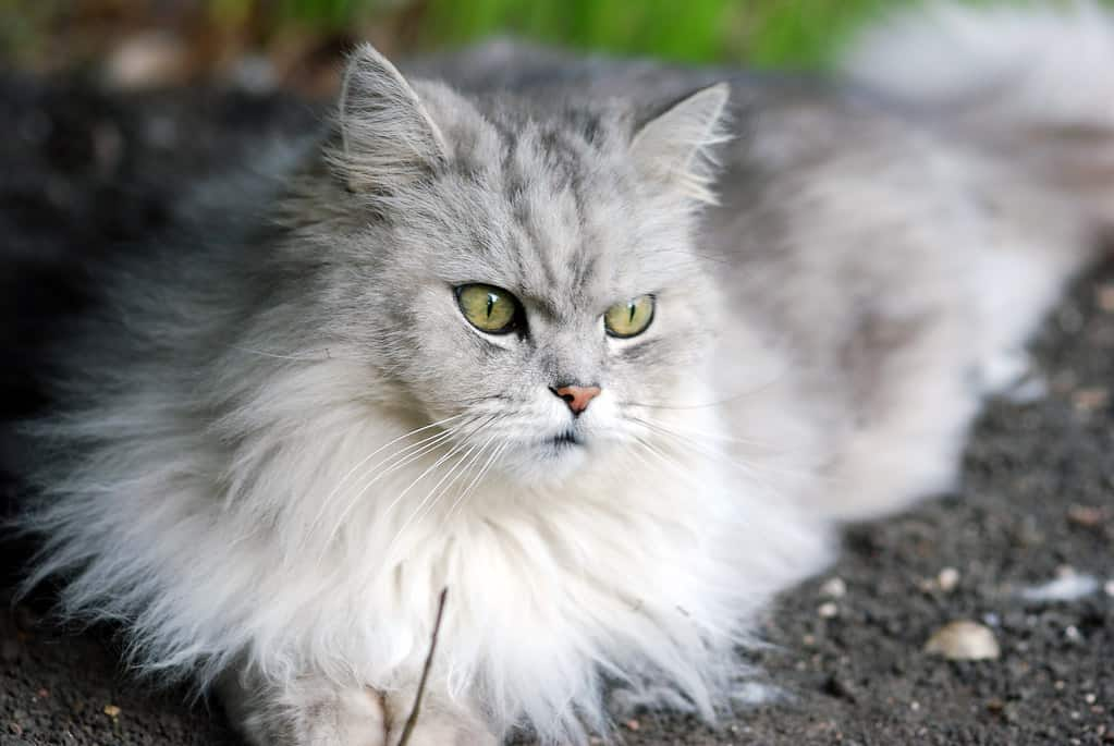 Hình ảnh mèo anh lông dài đẹp