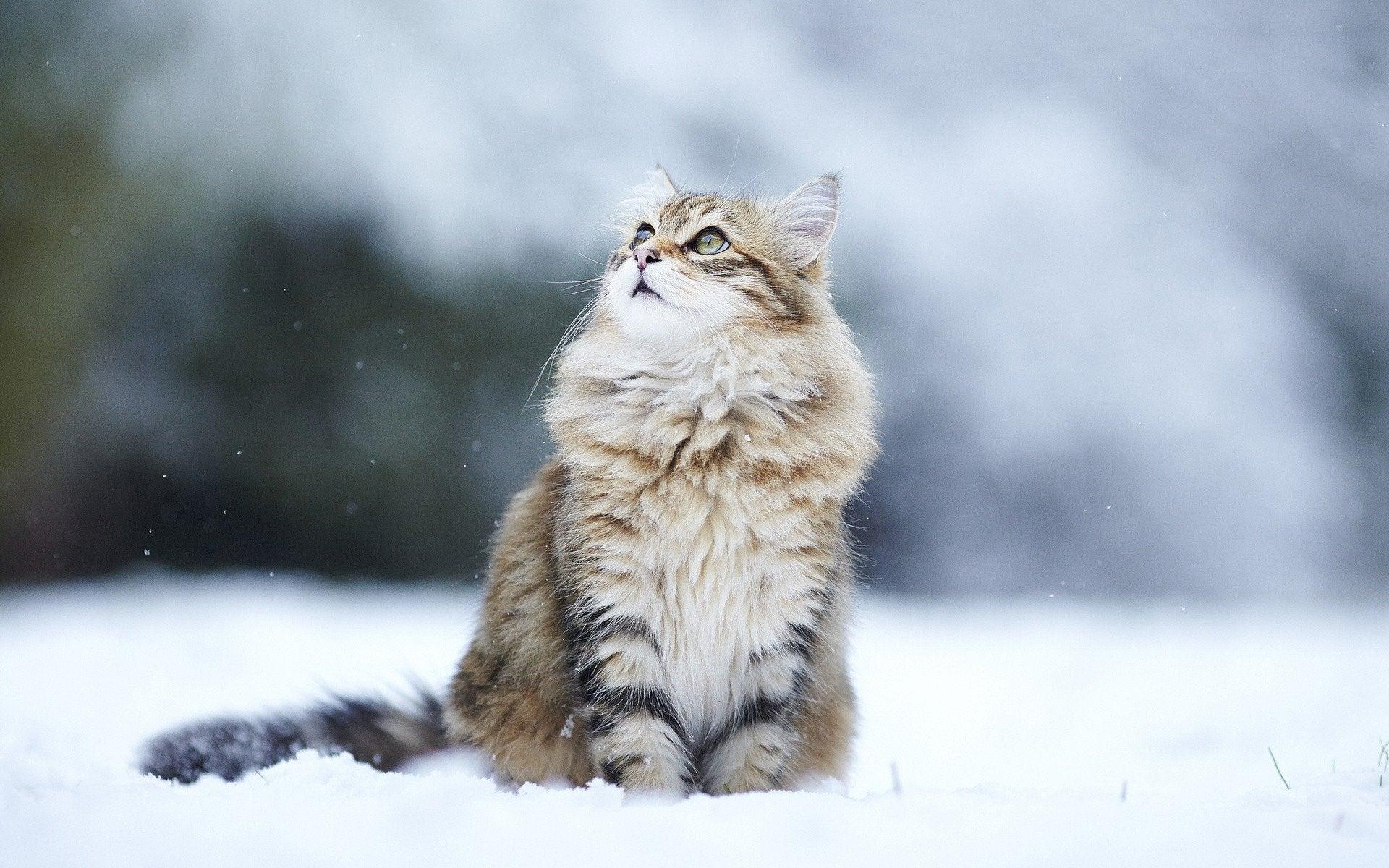 Hình ảnh mèo anh lông dài dưới tuyết