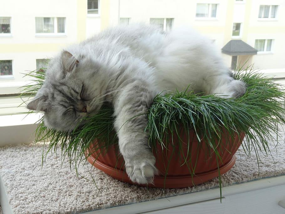 Hình ảnh mèo anh lông dài nằm ngủ dễ thương nhất