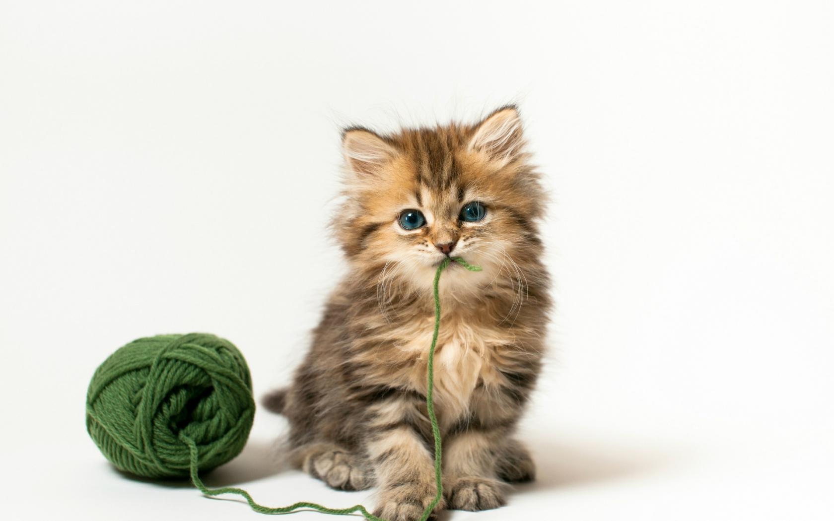 Hình ảnh mèo anh lông dài và cuộn len