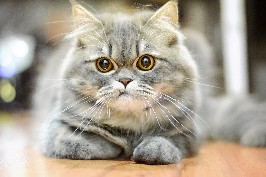 Hình ảnh mèo Ba Tư đáng yêu nhất
