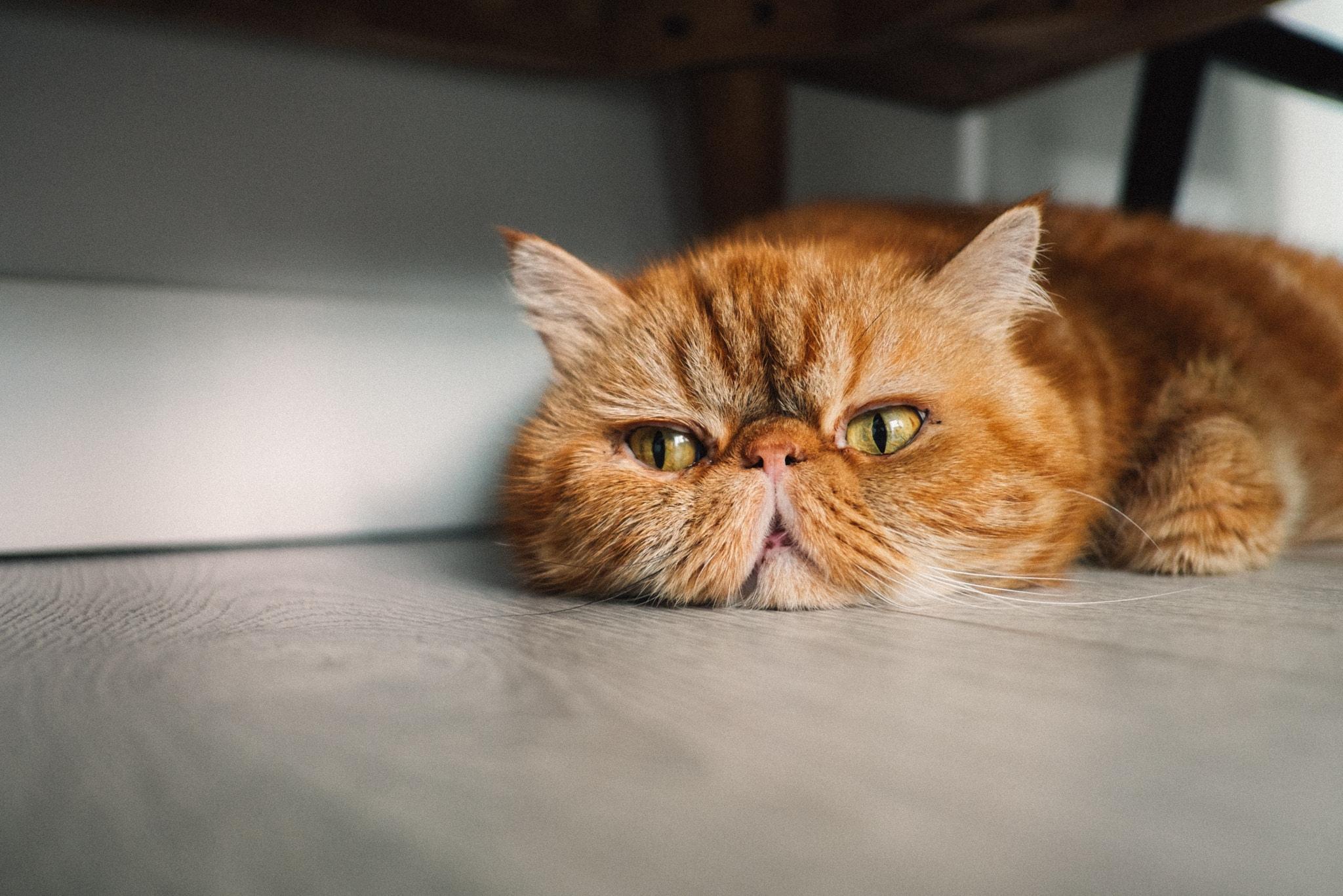 Hình ảnh mèo Ba Tư dễ thương đẹp nhất