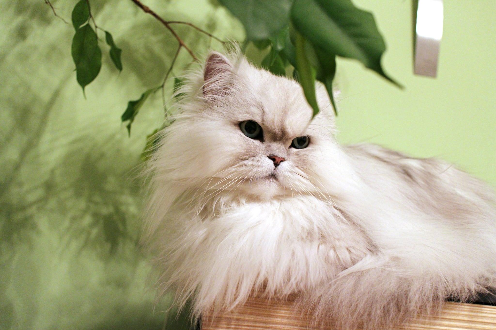 Hình ảnh mèo Ba Tư đẹp