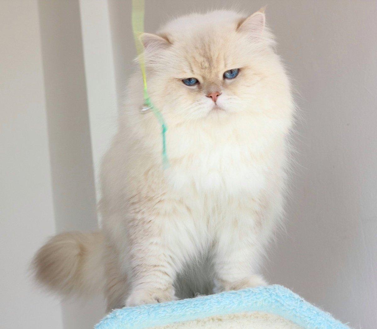Hình ảnh mèo Ba tư lông ngắn buồn