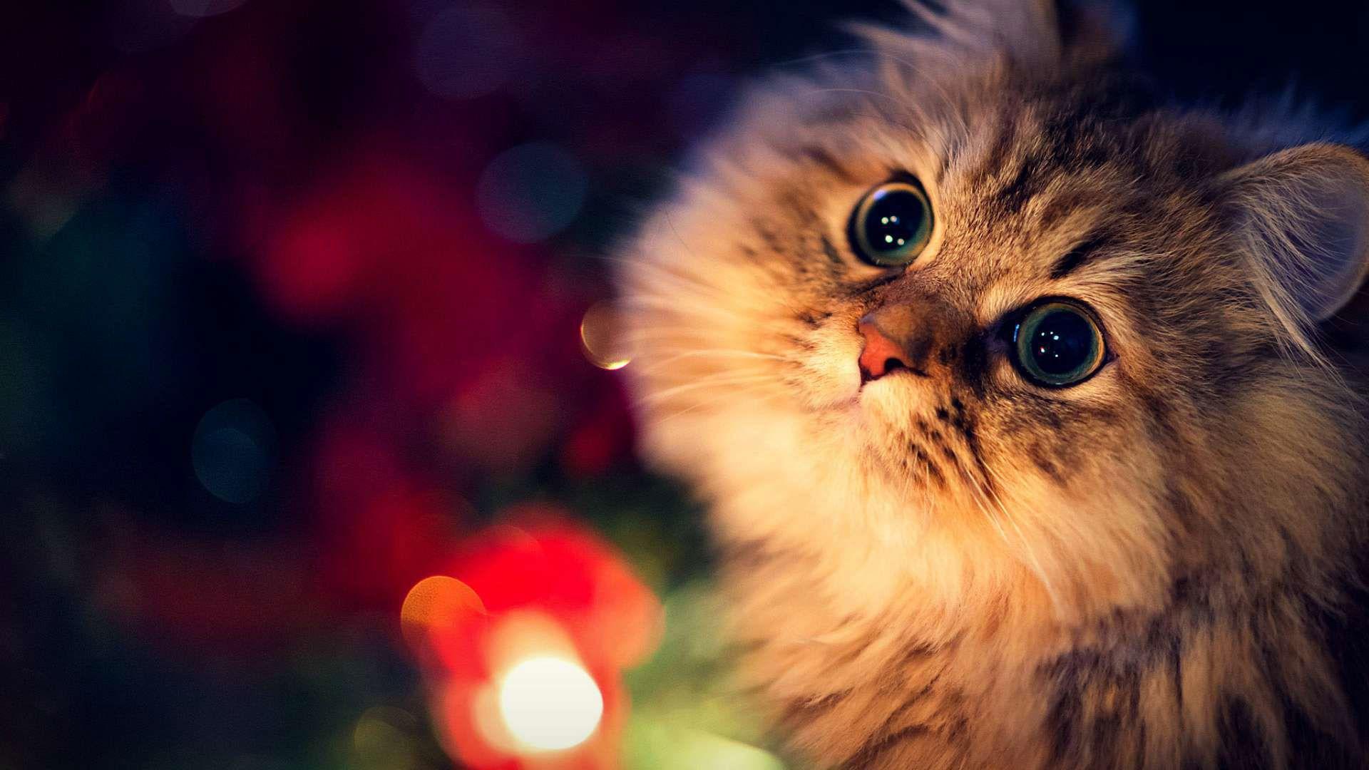 Hình ảnh mèo Ba Tư với biểu cảm đáng yêu