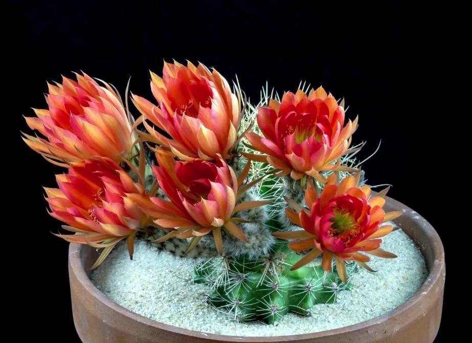 Hình ảnh tuyệt đẹp về hoa xương rồng