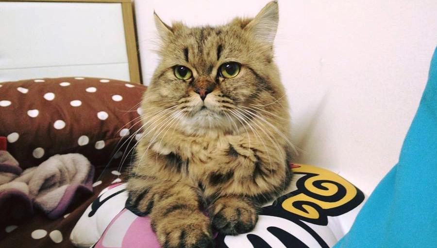 Hình đẹp về mèo Ba Tư