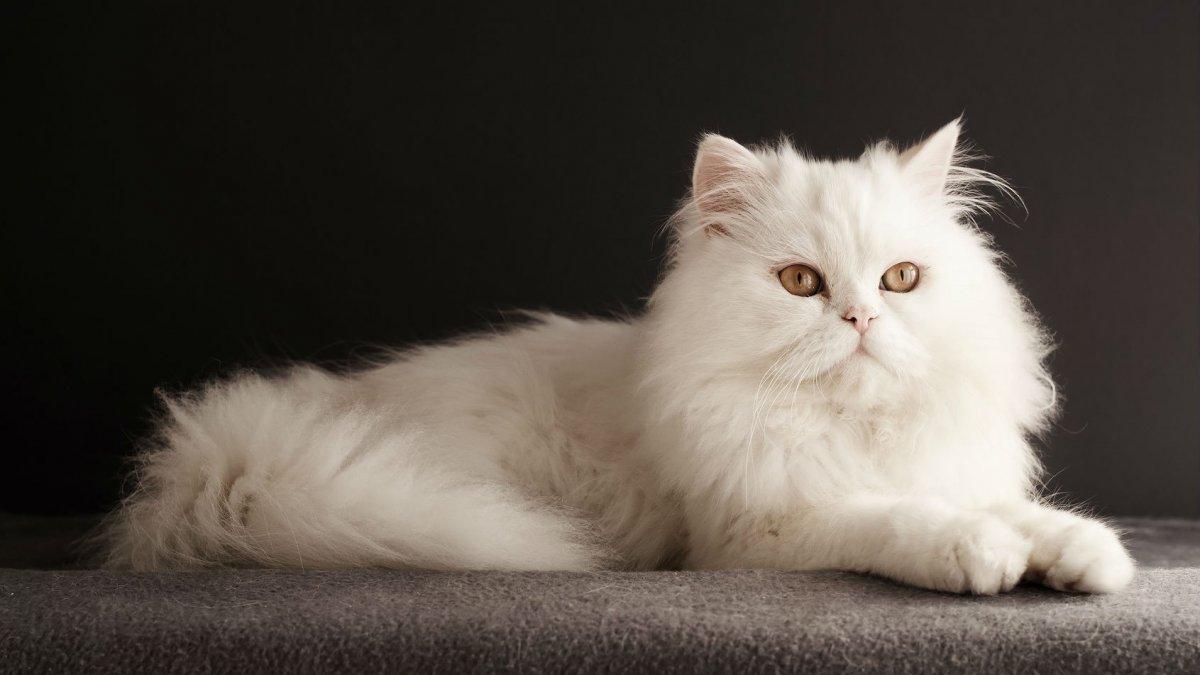 Hình mèo anh lông dài đẹp