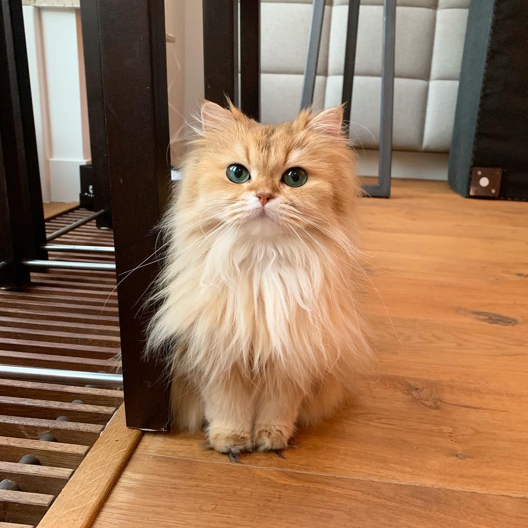 Hình mèo anh lông dài màu vàng
