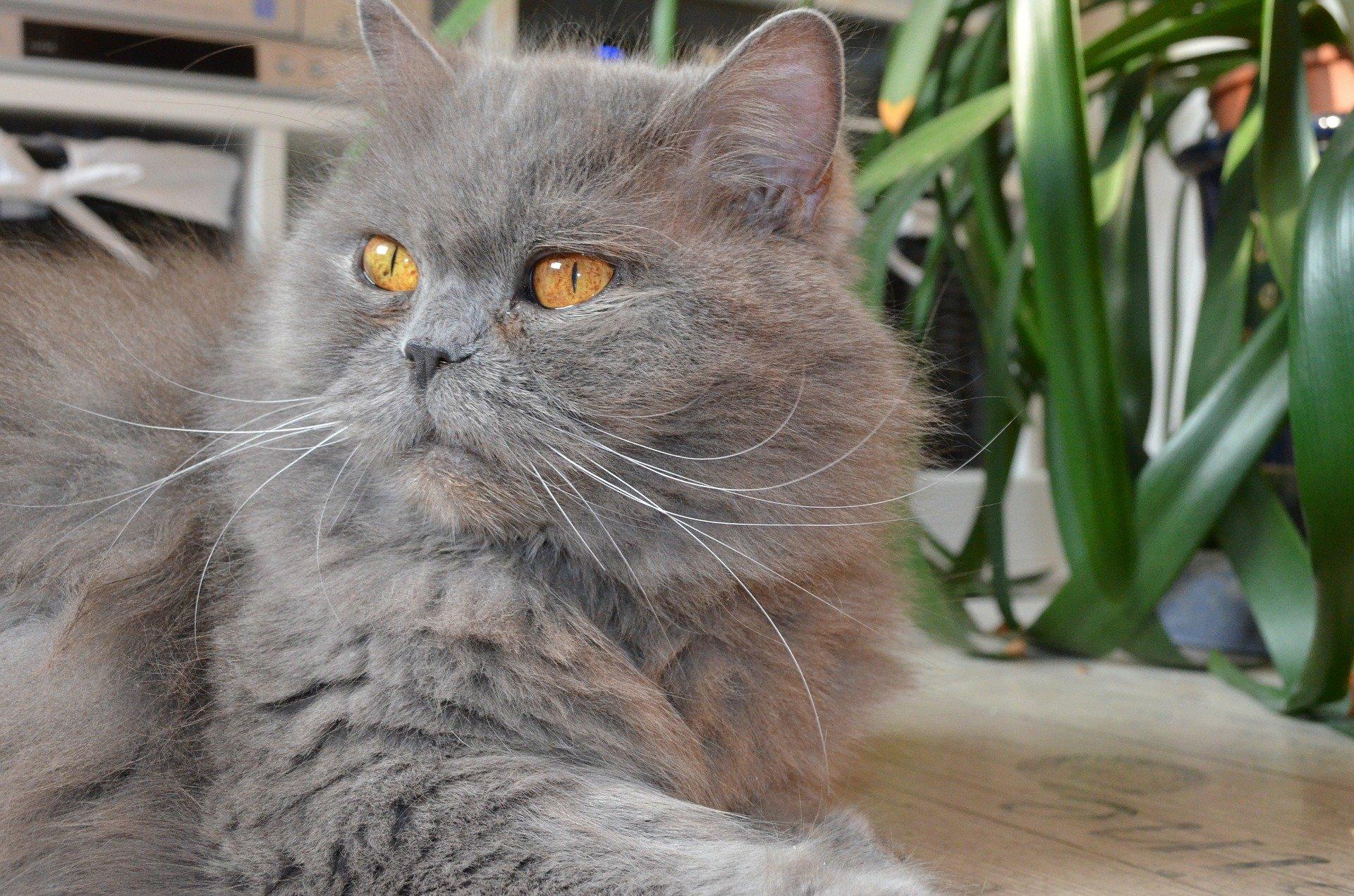 Hình mèo Ba Tư cực thần thái