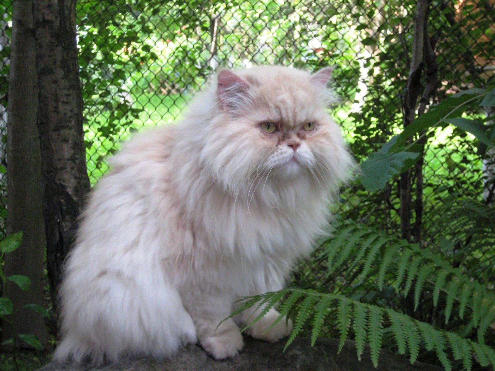 Hình mèo Ba Tư đẹp