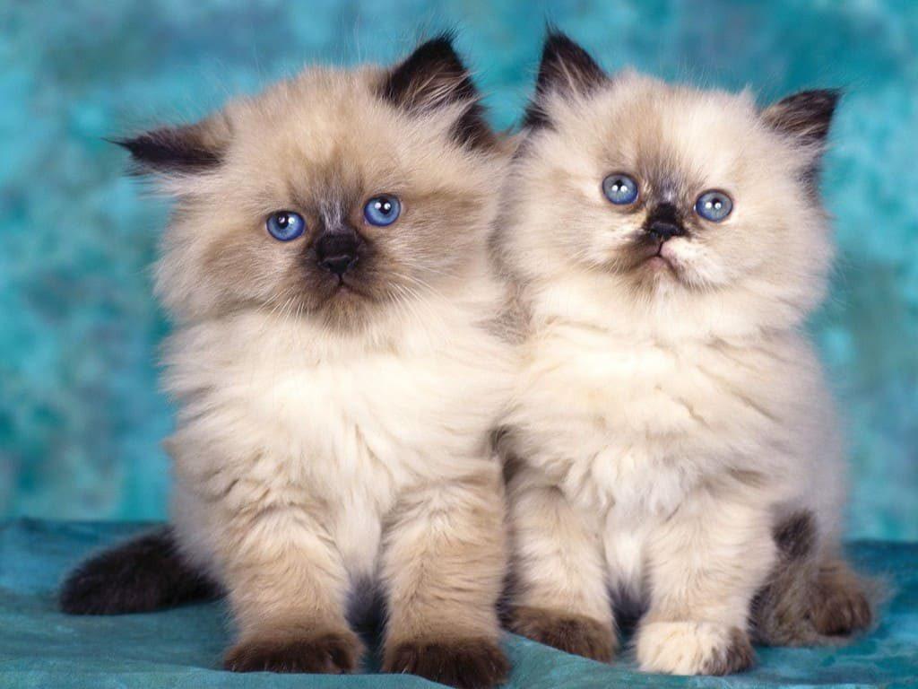 Hình mèo Ba tư Exotic