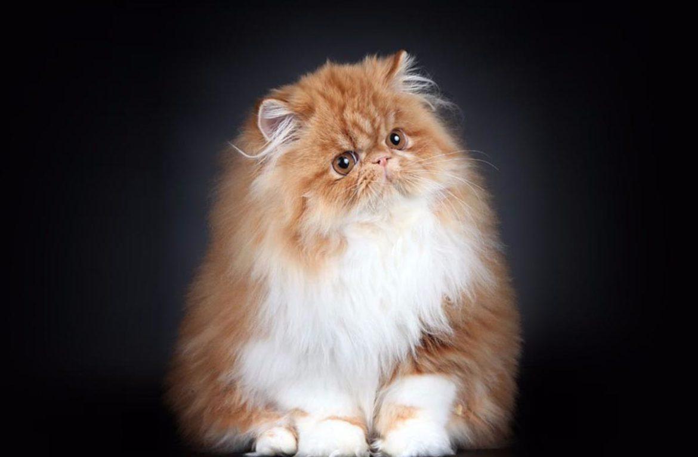 Hình mèo Ba Tư lông dài đẹp