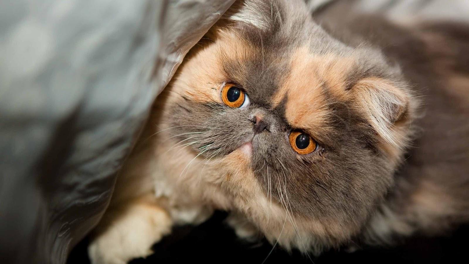 Hình mèo Ba Tư lông ngắn mặt tịt