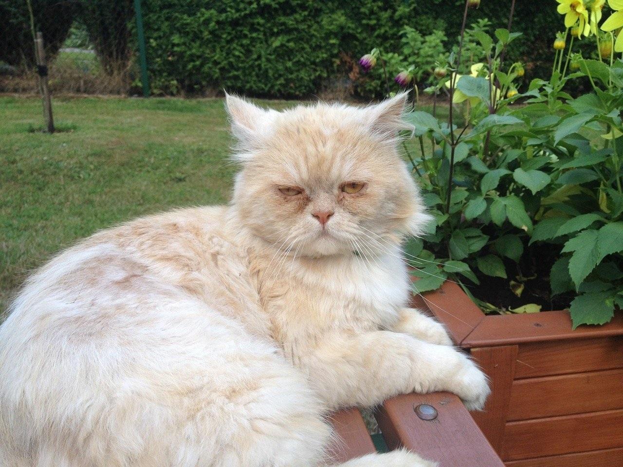 Hình mèo Ba Tư phơi nắng