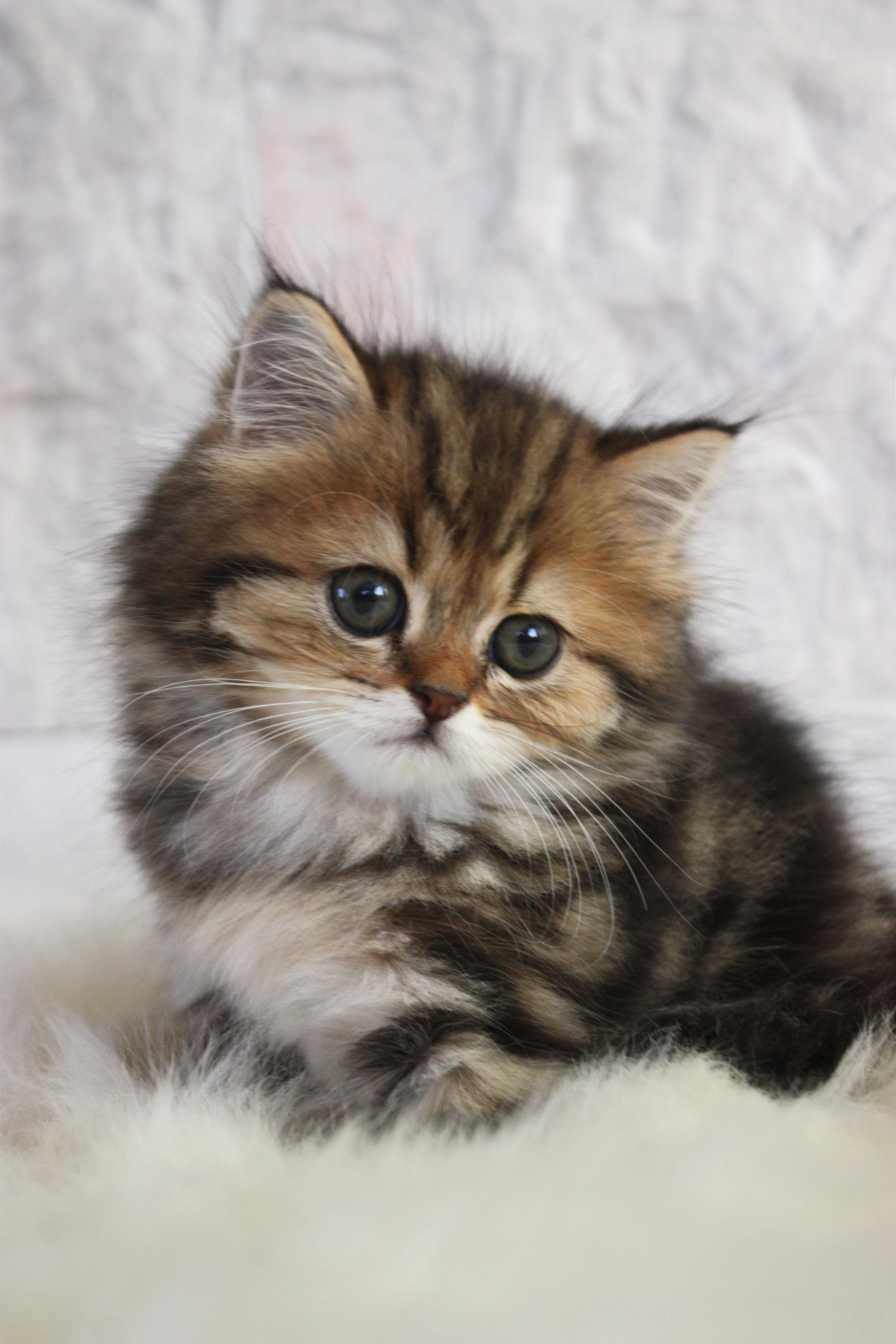 Hình nền mèo Ba Tư dễ thương cho điện thoại