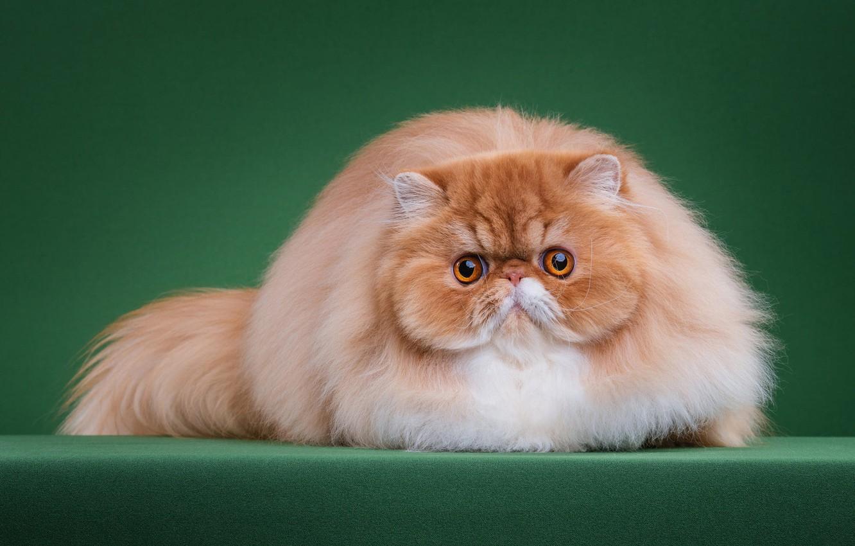 Hình nền mèo ba tư đẹp
