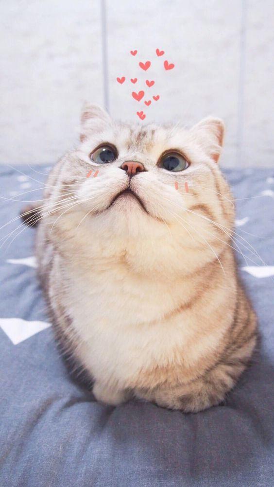 Hình nền mèo béo dễ thương cho điện thoại