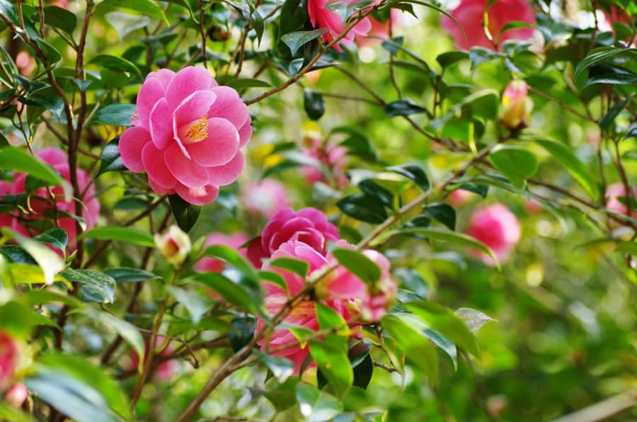 Hoa trà my đẹp nhất