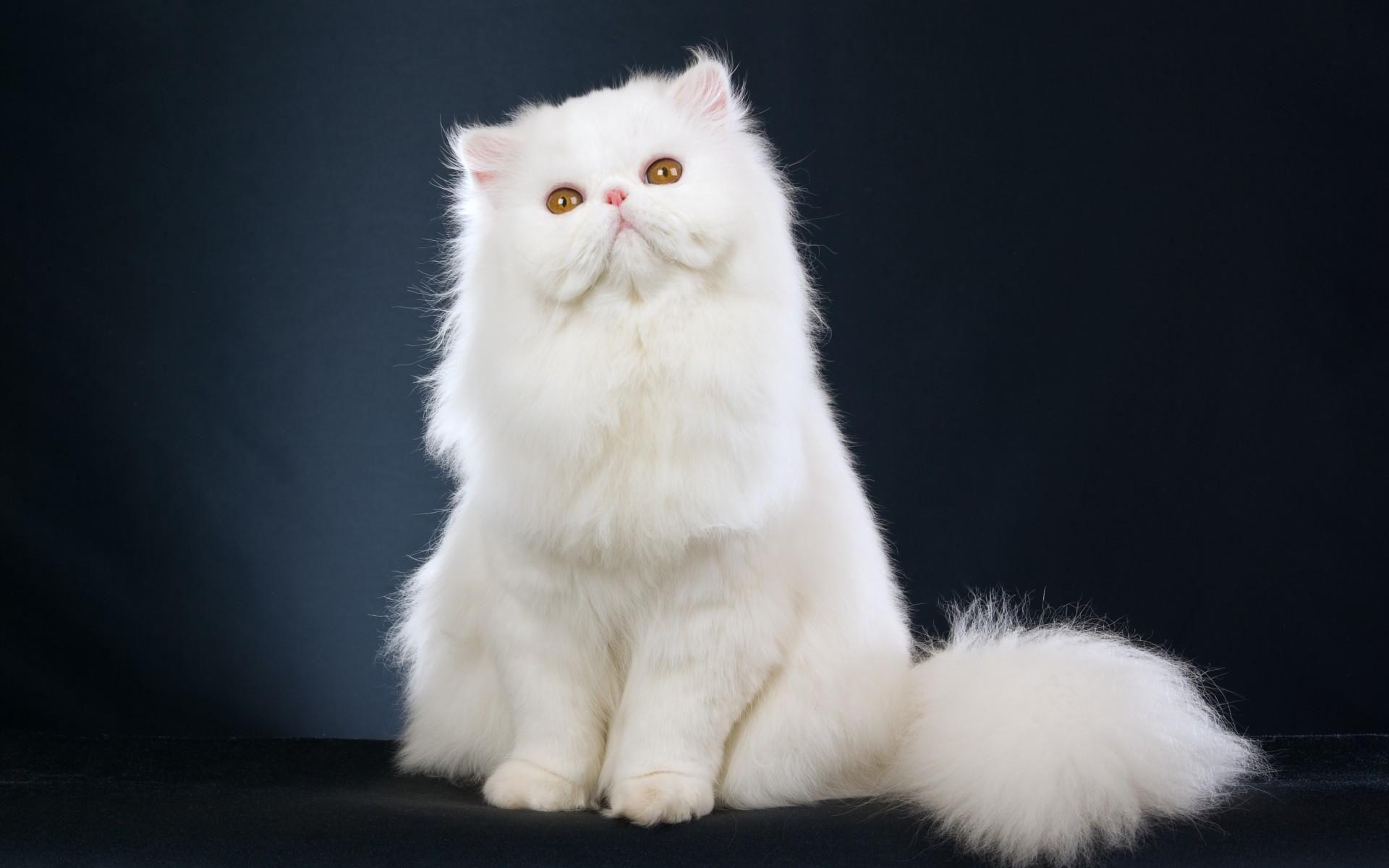 Mèo Ba Tư lông trắng thuần chủng