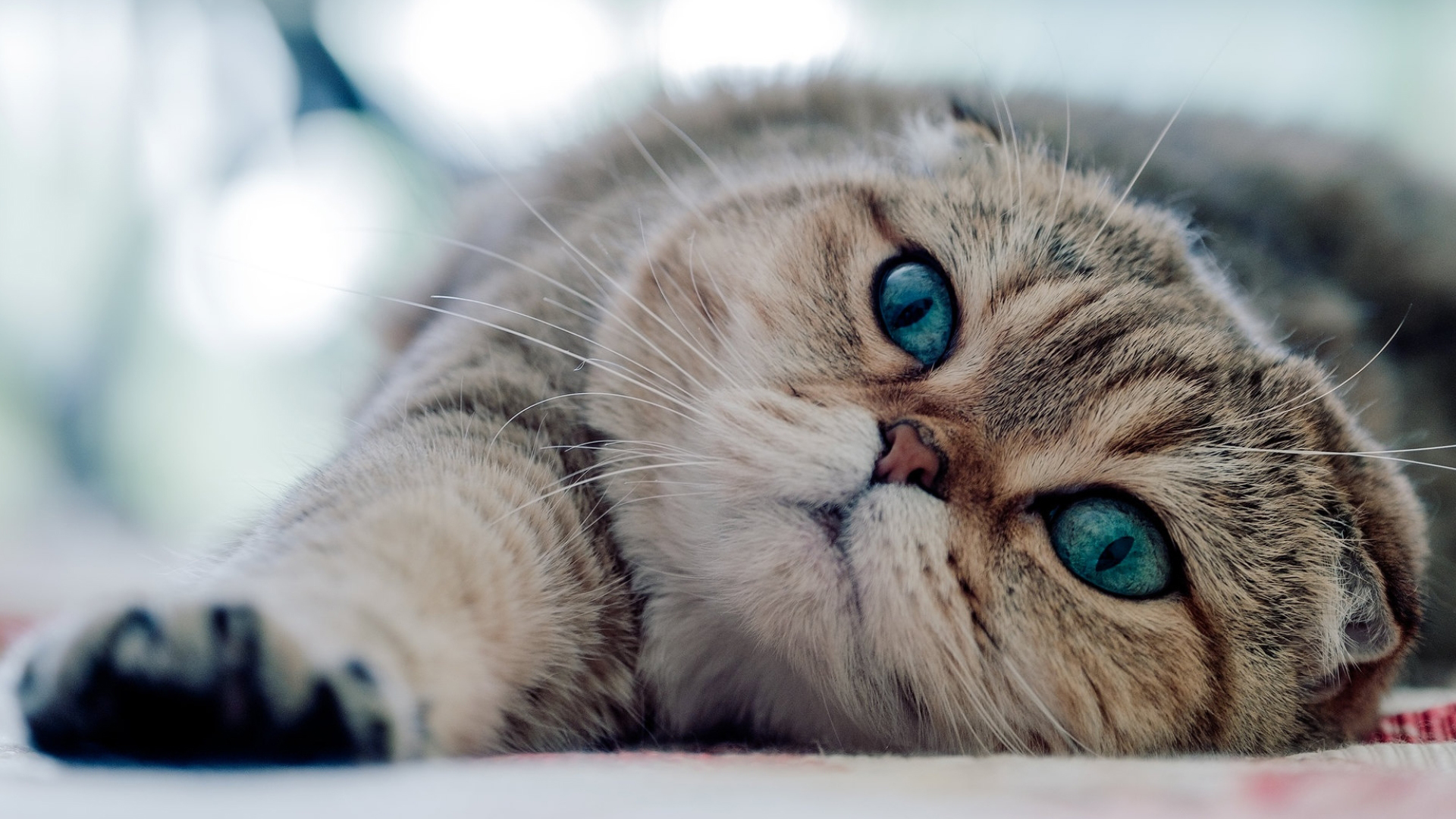 Scottish Fold Cute CAT Wallpapers