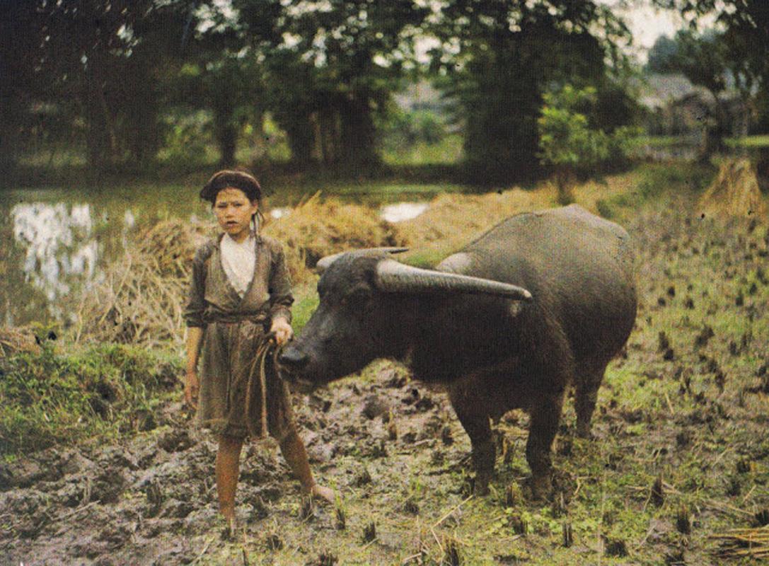 Hình ảnh cô gái chăn trâu tại miền Bắc VN