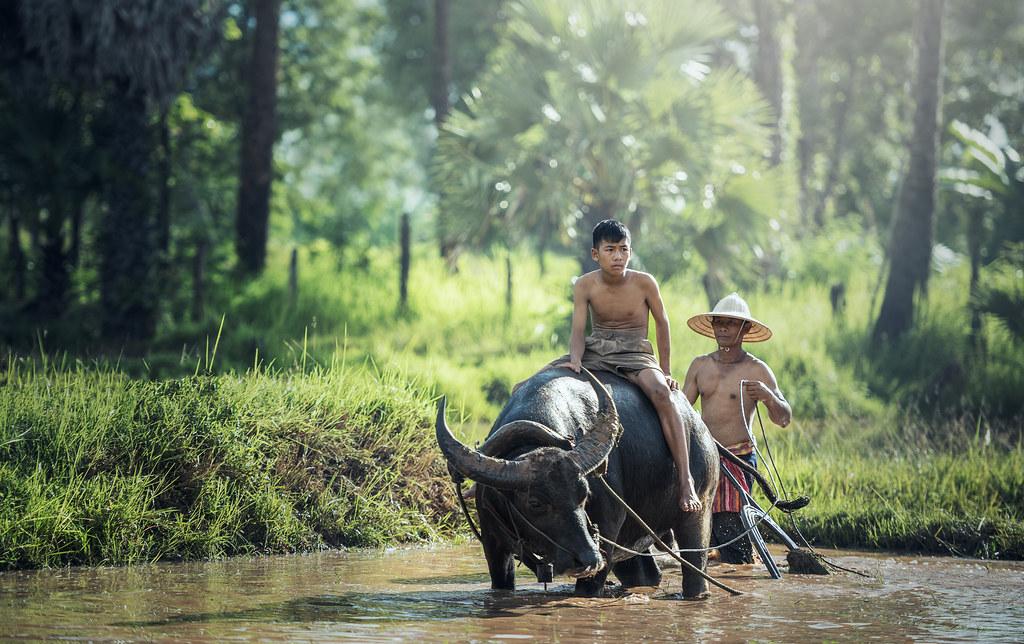 Hình ảnh con trâu được chụp tại Thái Lan