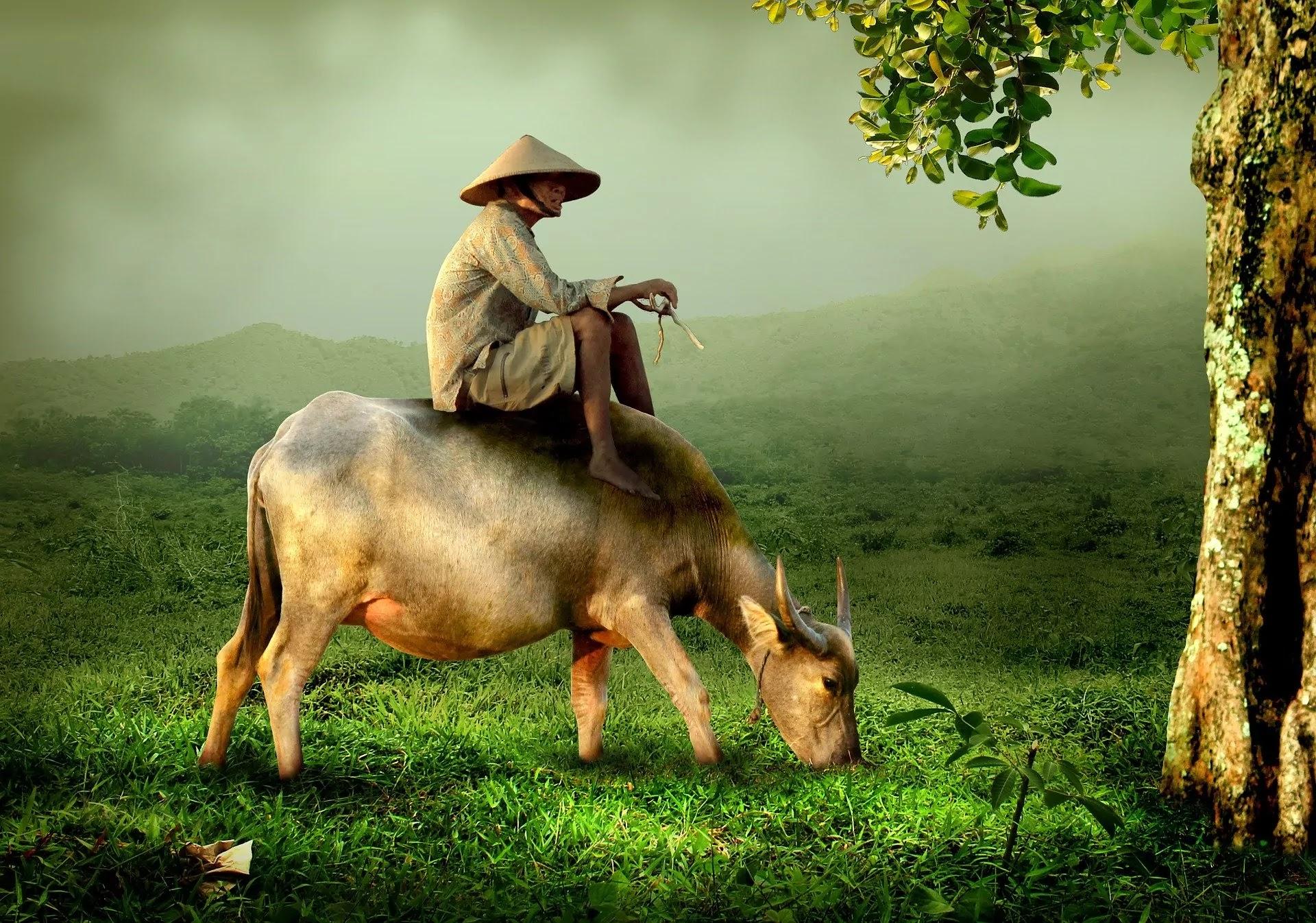 Hình ảnh người nông dân và con trâu