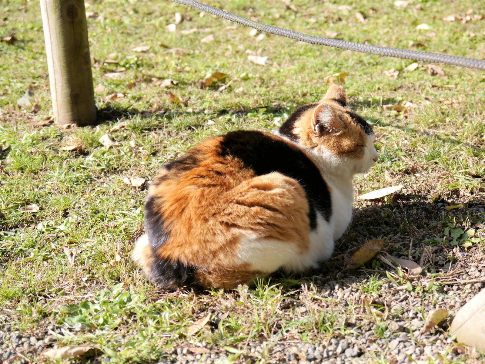 Ảnh chú mèo tam thể Nhật Bản