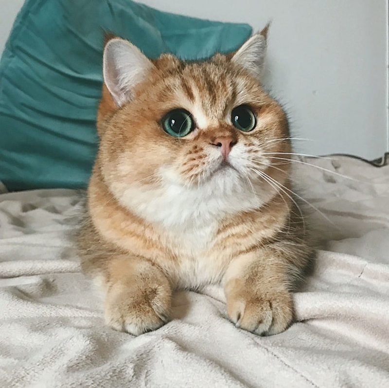 Ảnh con mèo tam thể cute và đẹp