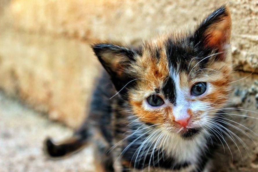 Ảnh mèo tam thể cái đẹp