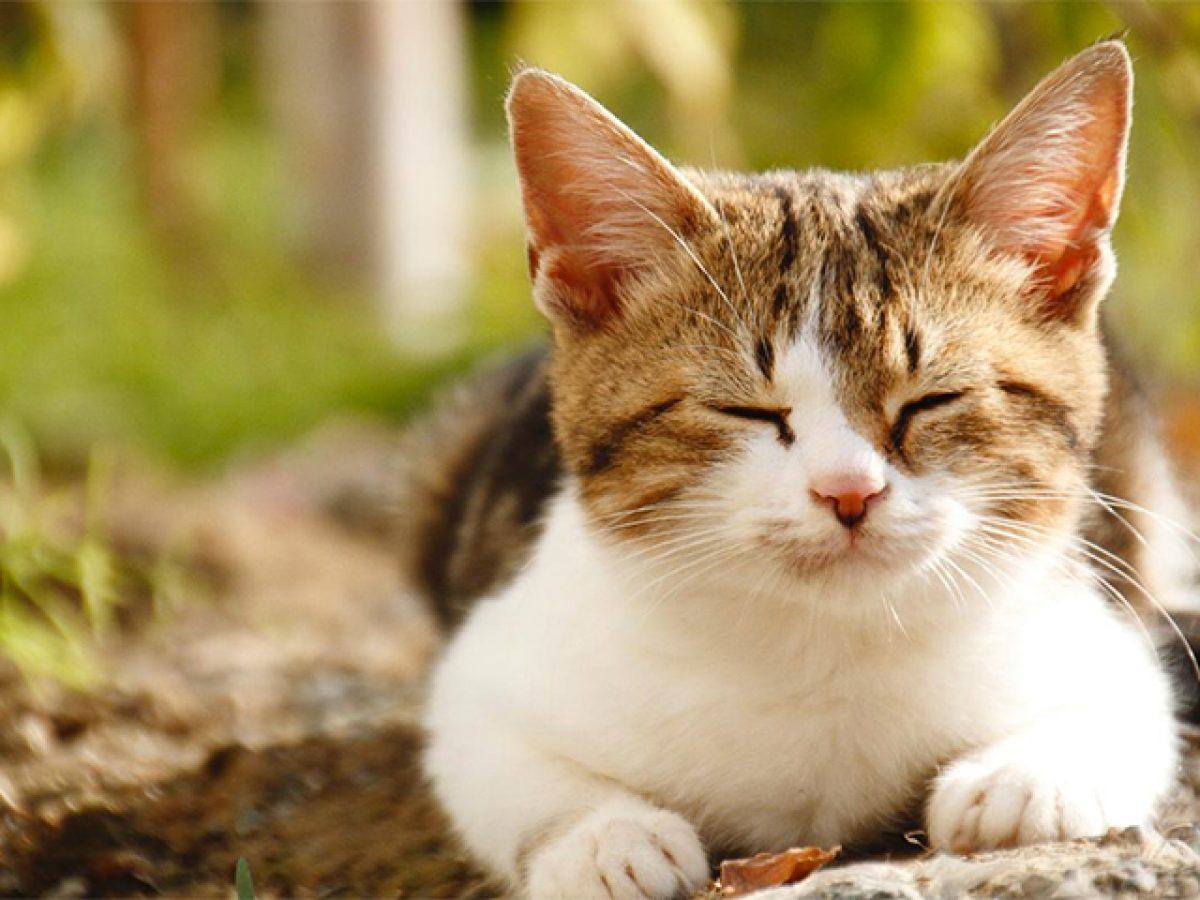Ảnh mèo tam thể dễ thương