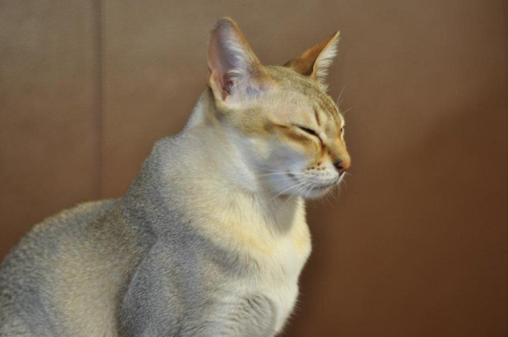 Ảnh mèo tam thể Nhật Bản đẹp