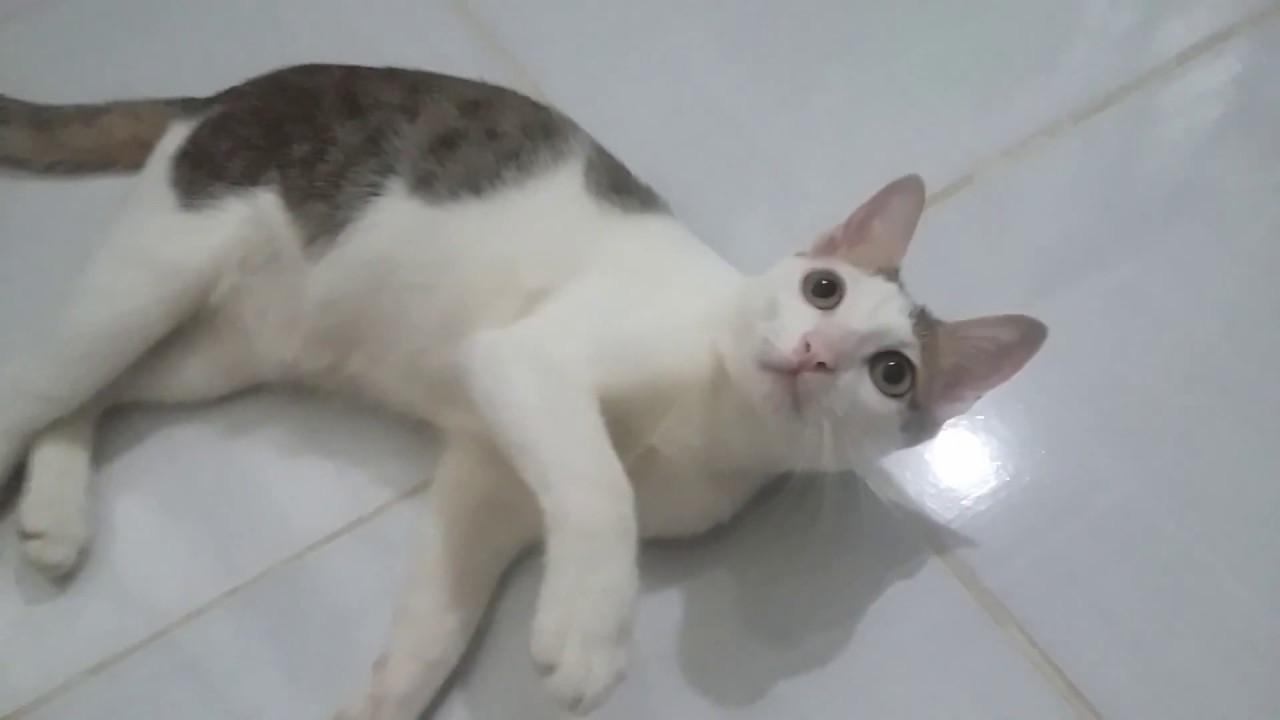 Ảnh mèo tam thể trắng đen đẹp