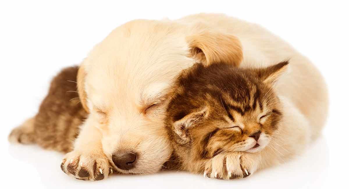 Hình ảnh con mèo tam thể lông dài đẹp